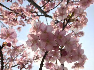2月なのに満開。旧中川沿いの河津桜